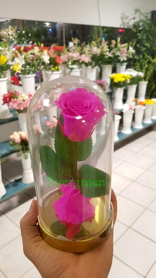 Večna ruža 1