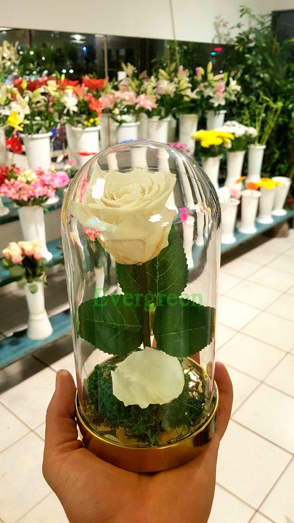 Večna ruža 7