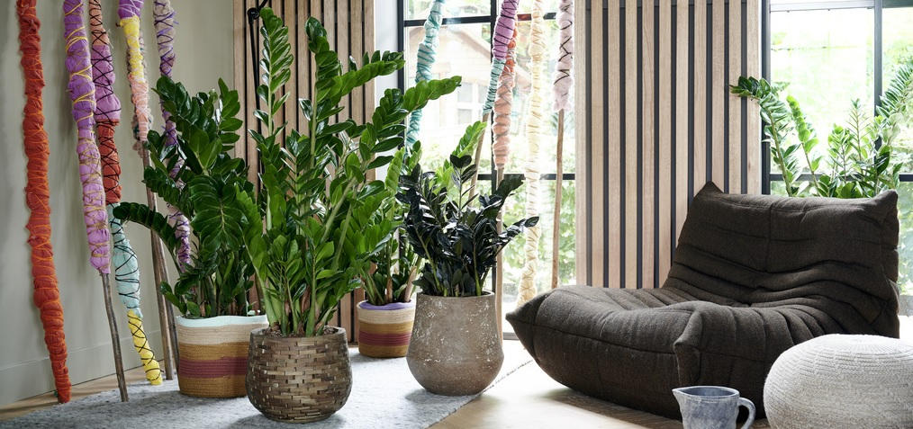 Održavanje biljaka: Održavanje Zamija